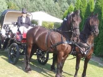 Bryczką do ślubu z końmi fryzyjskimi,  Gierzwałd