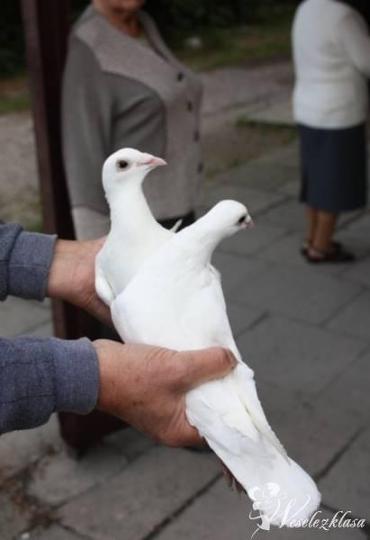Białe gołębie na ślub, Sosnowiec - zdjęcie 1